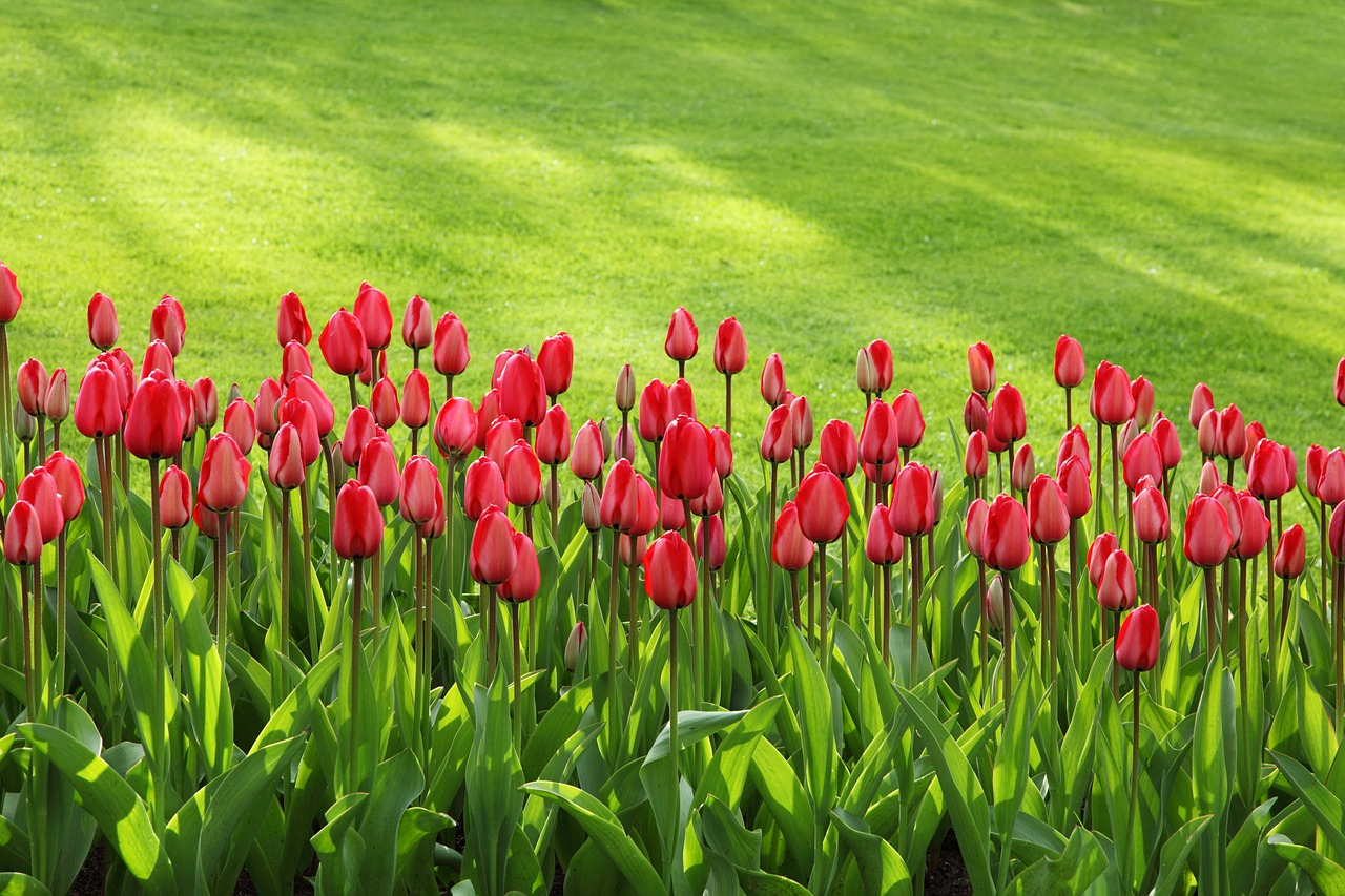 Tulips and garden lawn in spring